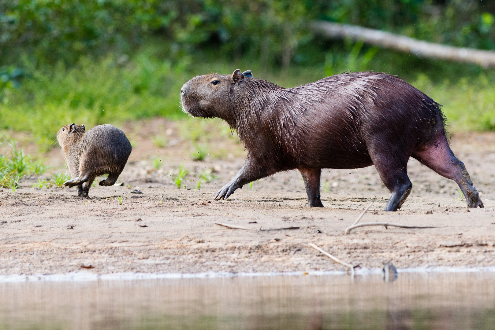 Capybarafamilie am Flussufer